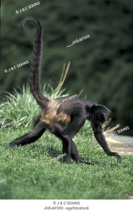 Spider Monkey , Primate , Primates , Ateles geoffroyi , South America , Adult walking , tail in upright position