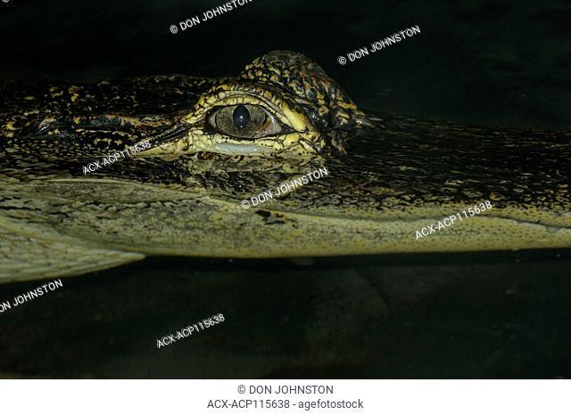 American alligator (Alligator mississipiensis), Captive, Reptilia reptile zoo, Vaughan, Ontario, Canada