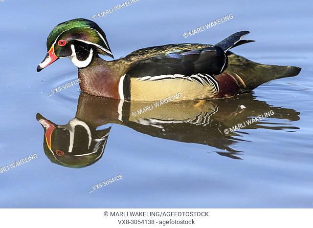 Wood duck, Aix sponsa, Burnaby Lake Regional Park, Burnaby, British Columbia, Canada