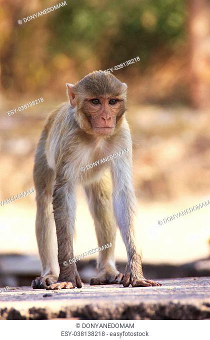 Rhesus macaque (Macaca mulatta) playing at Taragarh Fort, Bundi, Rajasthan, India