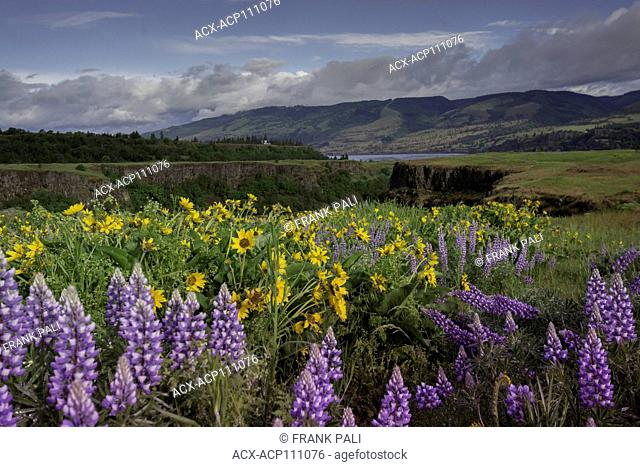 Columbia River Gorge, Oregon, USA, Balsamroot and Lupine wildflowers