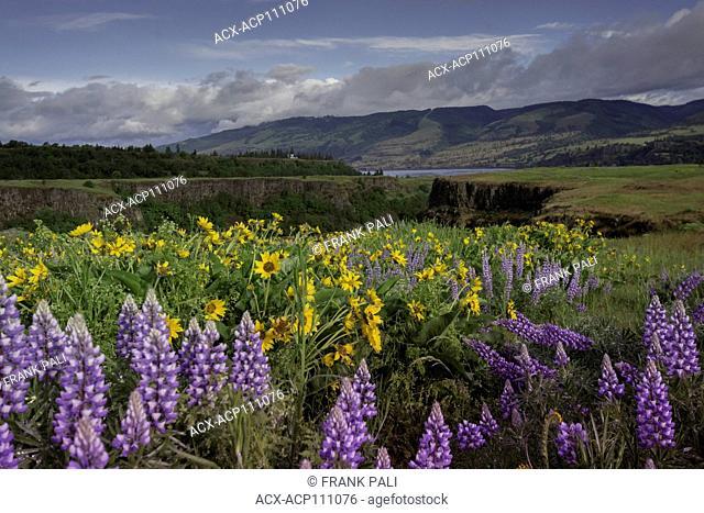 Columbia River Gorge, Oregon, USA, Balsamroot and Lupine wildflowers