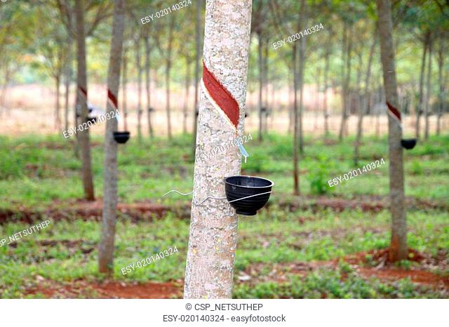 Rubber tree forest, northeastern Thailand