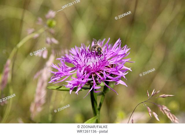 Brown Knapweed Centaurea jacea