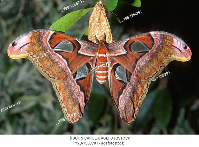 ATLAS MOTH Attacus atlas, these are the largest moths in the world with a wingspan from 10-12 inches, native to southeast Asia