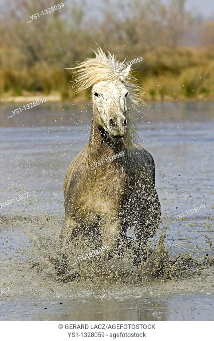 CAMARGUE HORSE, SAINTES MARIE DE LA MER IN THE SOUTH OF FRANCE