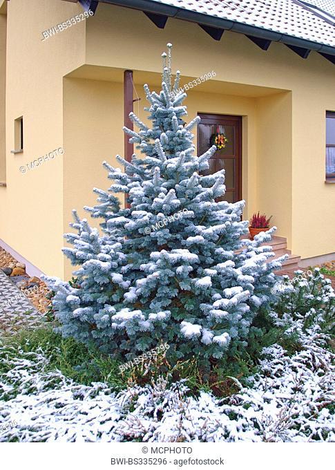 Abies lasiocarpa (Abies lasiocarpa 'Argentea', Abies lasiocarpa Argentea), cultivar Argentea, Germany