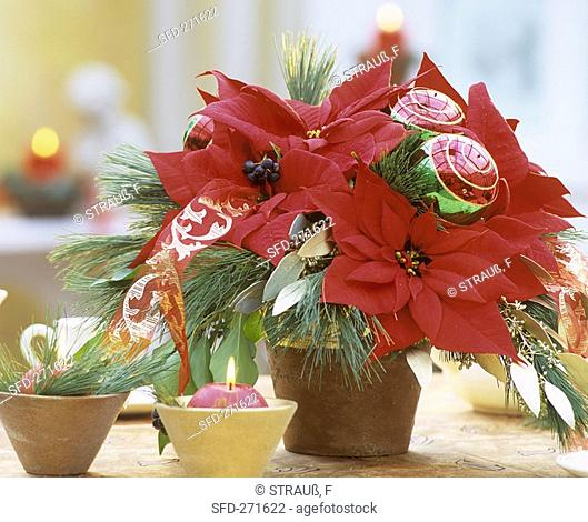 Arrangement of poinsettia and pine branches for Advent