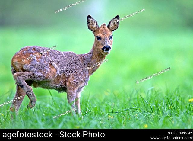 Western Roe Deer (Capreolus capreolus). A juvenile roebuck changing ist coat. Germany