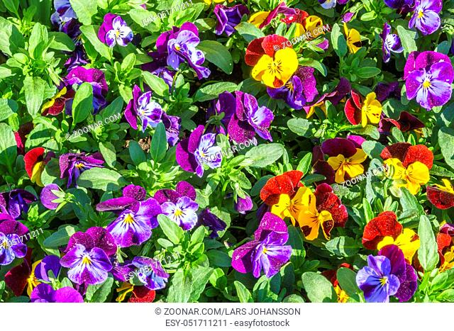 Colorful flowering Pense in a garden