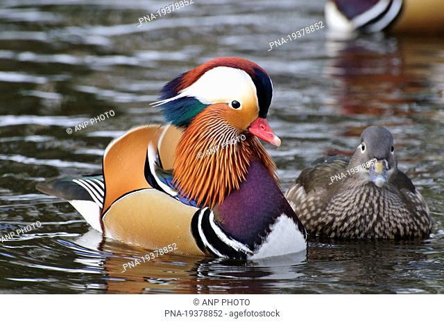 Mandarin Aix galericulata - Park Sonsbeek, Arnhem, Veluwe, Gelderland, Guelders, The Netherlands, Holland, Europe