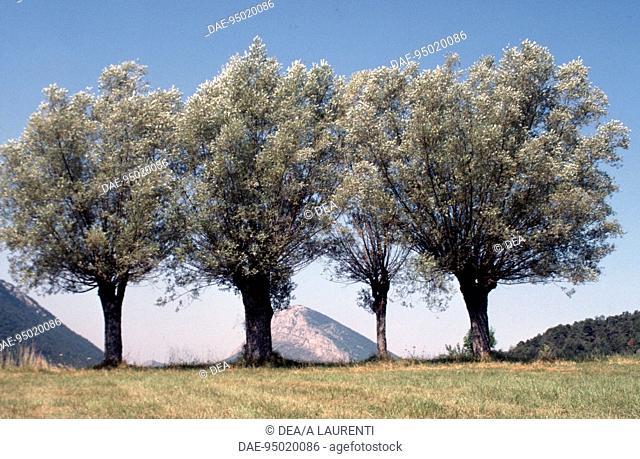 White Willow specimens (Salix alba), Salicaceae