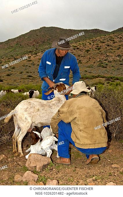 Nama goat herders letting Boer goatlings suckle with the female, Richtersveld, Northern Cape province, South Africa
