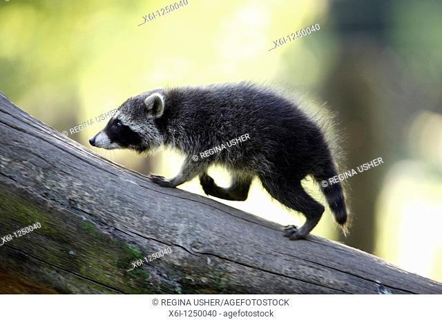 Raccoon Procyon lotor, baby animal playing on dead branch, Germany