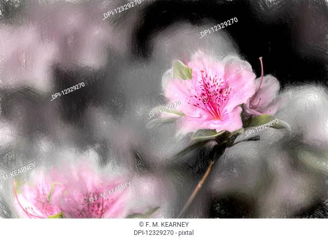 Gable Hybrid Azaleas (Ericaceae), 'karen' Rhododendron, New York Botanical Garden; Bronx, New York, United States Of America