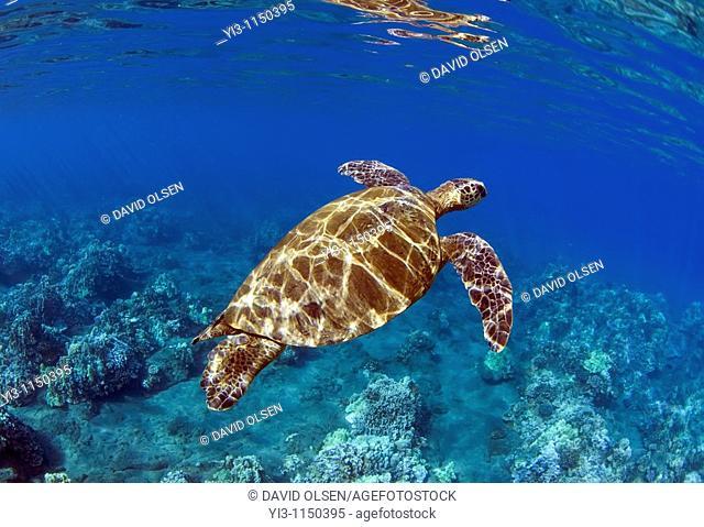Green sea turtle in Lahaina, Maui, Hawaii
