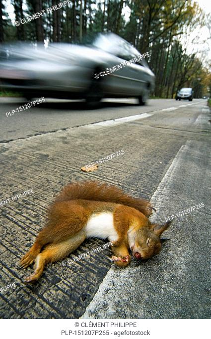 Eurasian red squirrel (Sciurus vulgaris) killed by car lying dead on road verge with cars driving by