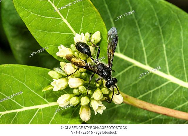 Steel-blue Cricket Hunter Chlorion aerarium on Indian Hemp Apocynum cannabinum