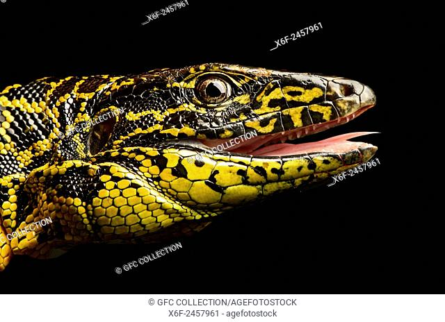 Gold Tegu (Tupinambis teguixin), Whiptail family (Teiidae), Amazon rainforest, Yasuni National Park, Ecuador