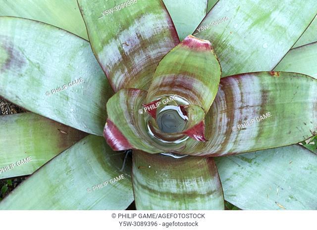 Bromeliad (detail) in a subtropical garden in Brisbane, Queensland, Australia