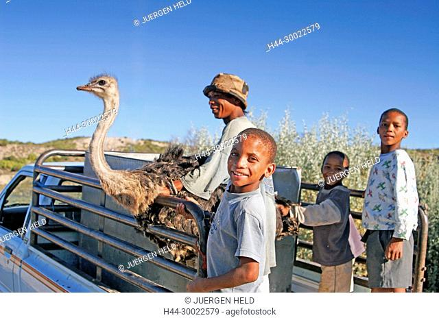 south africa, Karoo, Western cape, Oudtshorn, ostrich farm, ostrich transport by car, kids