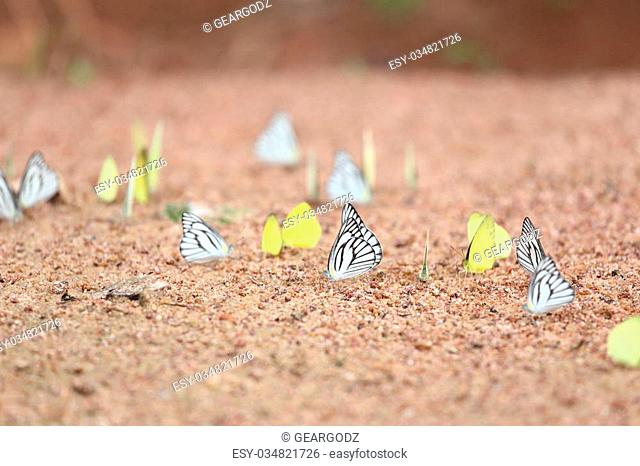 Group of butterfly on the ground (Small Grass Yellow, Striped Albatross)