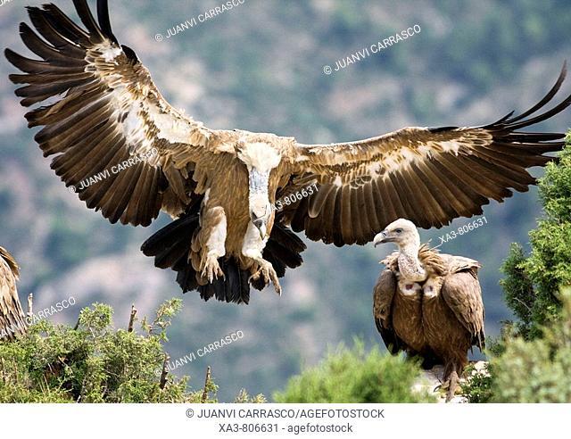 Griffon vulture (Gyps fulvus) landing