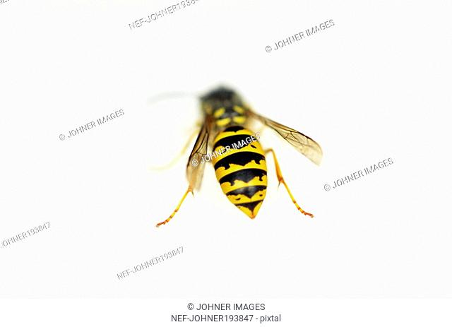 Honeybee against white background, close-up