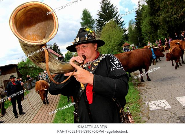 Cow herder Axel Moller frp, Altenau blows his horn during the traditional Cow Prom in Tanne, Germany, 21 May 2017. The Cow Prom took place under a sunny weather...