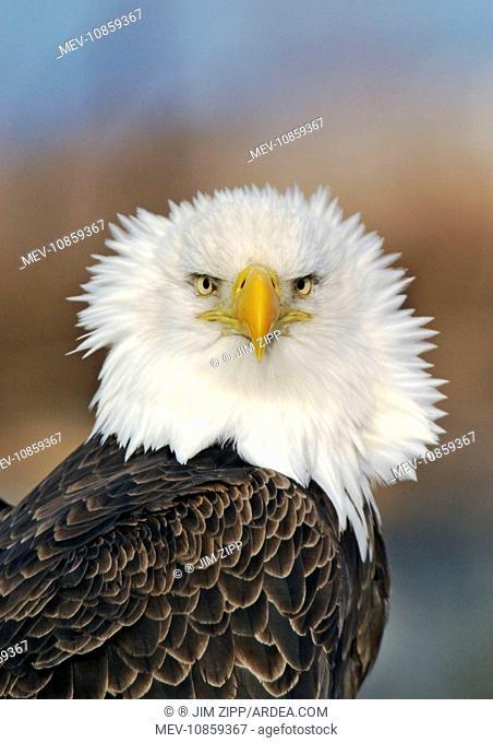 Adult Bald Eagle. (Haliaeetus leucocephalus). Homer Alaska. Distribution: Alaska, Canada and USA