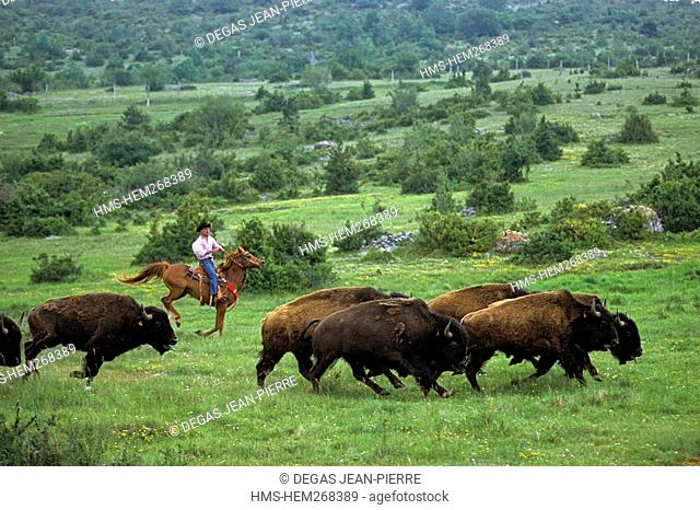France, Gard, Lanuejols, Randals Bison, Cevennes national park, listed as Biosphere Reserve by UNESCO, American Buffalo Breeding Stock in a ranch of 300...