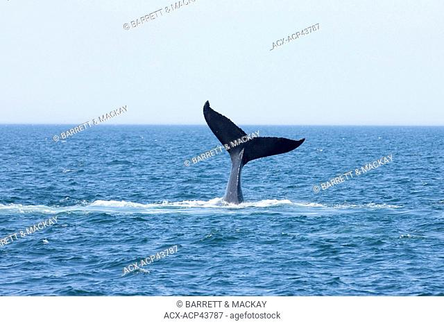 Humpback whale tail fluke, Megaptera novaeangliae off Grand Manan Island, Bay of Fundy, New Brunswick, Canada