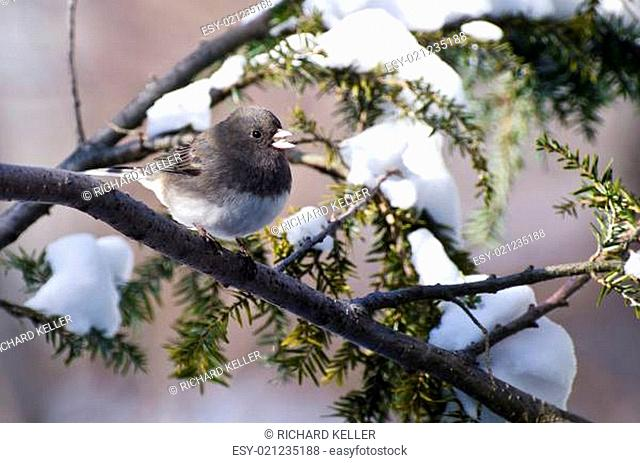 Dark-eyed Junco Perched in Snow