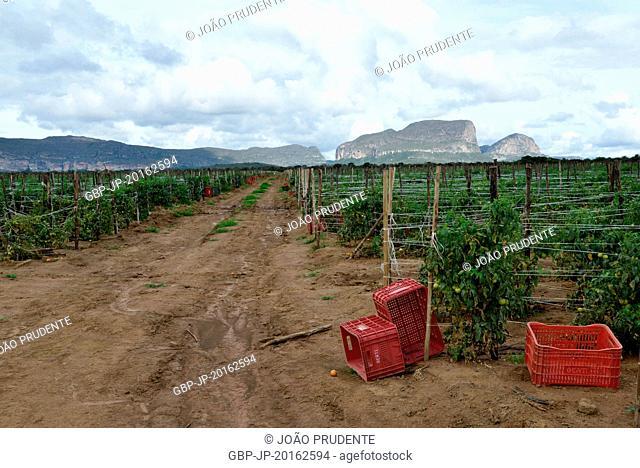 Tomato plantation in the rural area of Chapada Diamantina, Mucugê, Bahia, Brazil, 04.2016