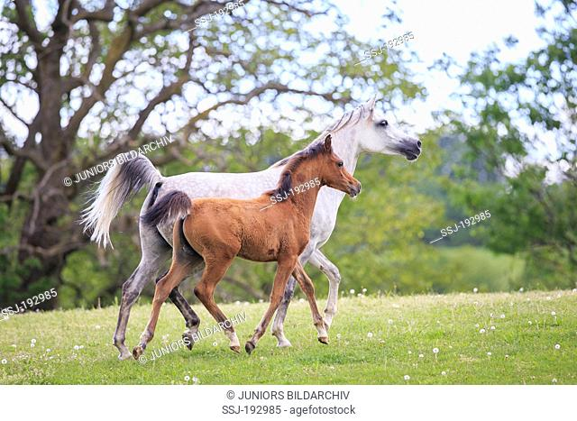Arabian Horse. Gray mare with foal trotting on a meadow. Austria