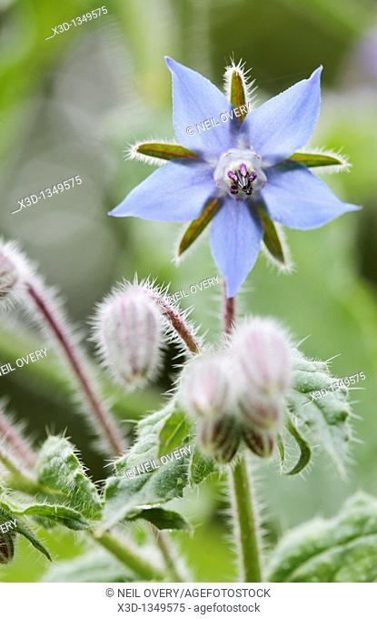 Borago officinalis, Star Flower