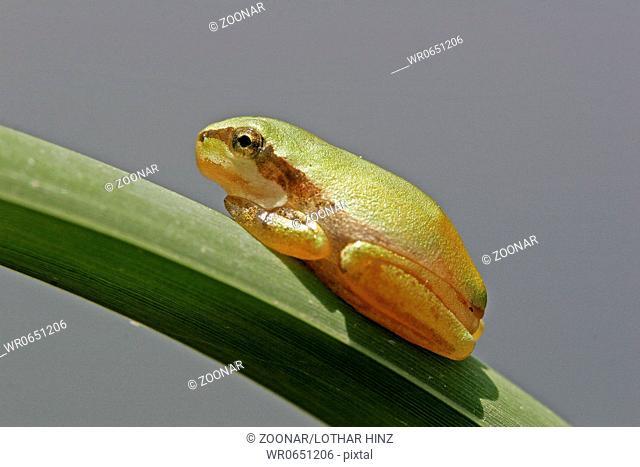 Hyla meridionalis, Mittelmeer-Laubfrosch, Jungtier, Tierkinder