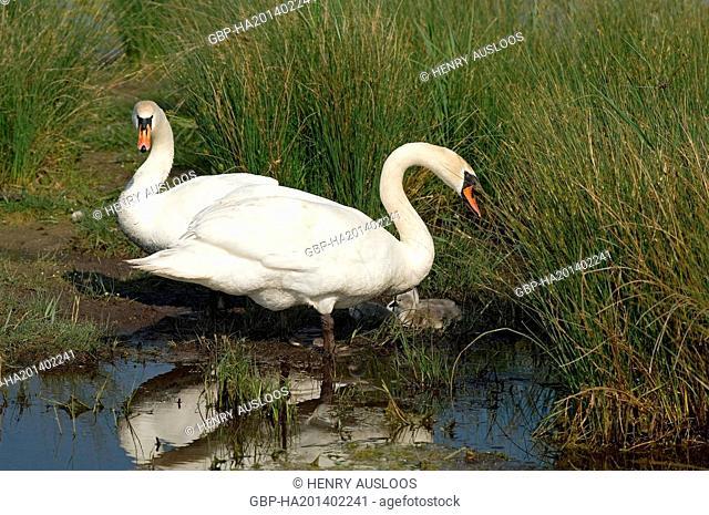Mute Swan - family - Cygnus olor Cygne muet ou tuberculé - famille