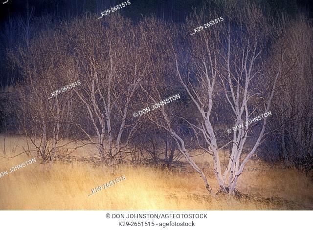Field of grasses and birch trees in fog - composite image, Sudbury, Ontario, Canada
