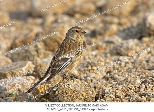 Twite foraging on ground, Twite, Linaria flavirostris