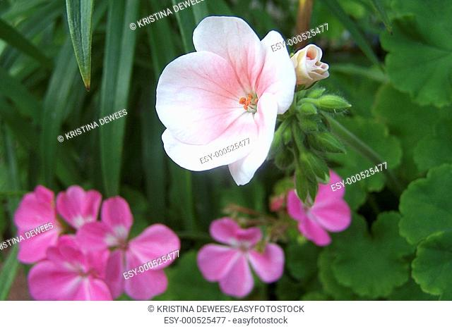 Two types of annual Geraniums dark pink and a white with pink blush