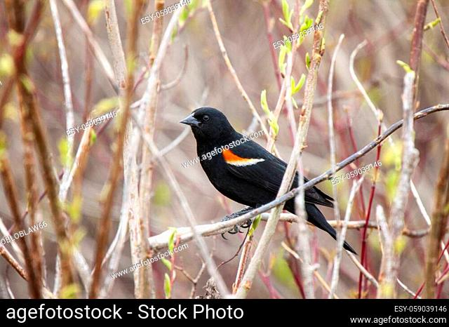 Red Winged Blackbird in a marsh Canada