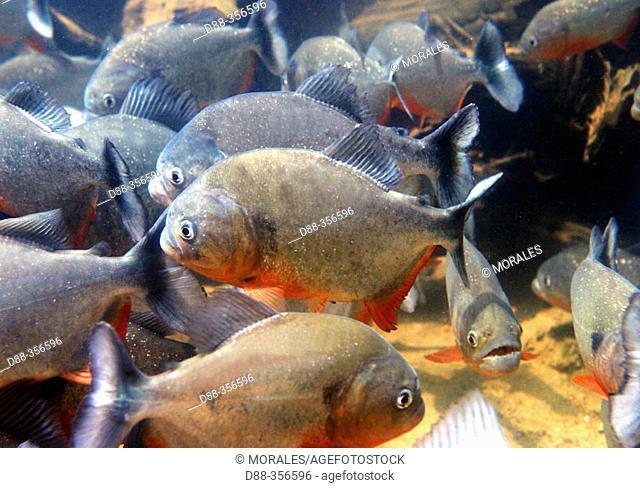 Red-bellied Piranha (Pygocentrus nattereri). Venezuela