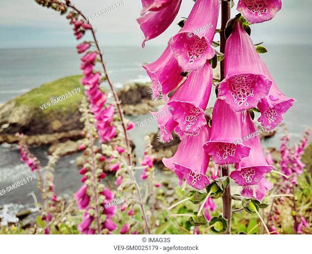 Digitalis purpurea, Salave coast, Tapia de Casariego, Asturias, Spain