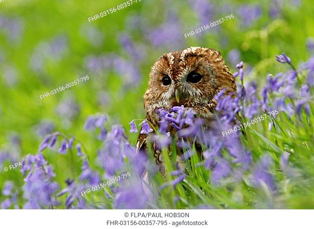 Tawny Owl Strix aluco adult, amongst Bluebell Endymion non-scriptus flowers in woodland, Derbyshire, England