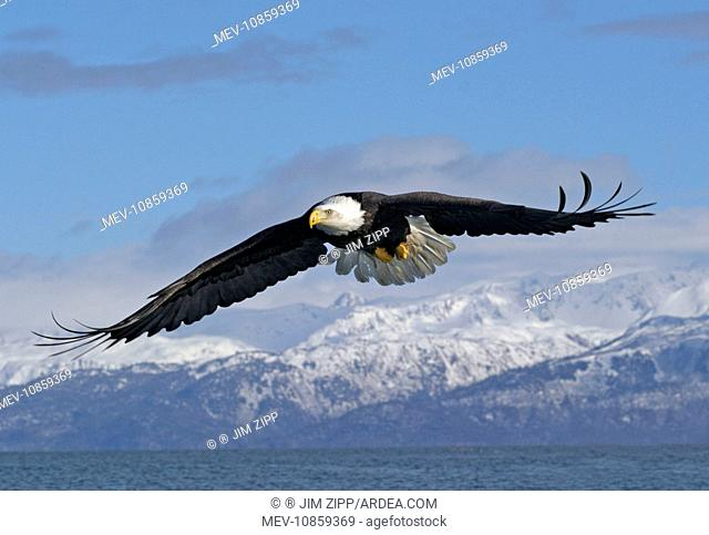 Adult Bald Eagle in flight. (Haliaeetus leucocephalus). Homer Alaska. Distribution: Alaska, Canada and USA