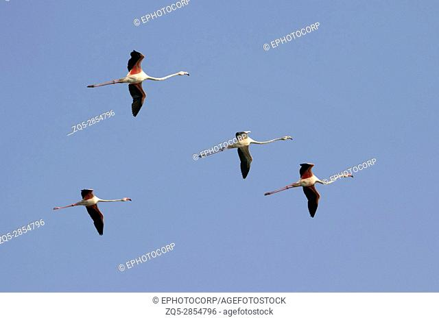 Flock of Greater Flamingos, Phoenicopterus roseus, Ujjani Dam backwaters, Bhigwan, Maharashtra, India