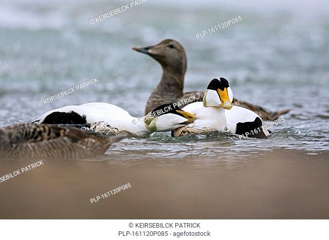 Common eider (Somateria mollissima) males in spring plumage fighting in lake on tundra