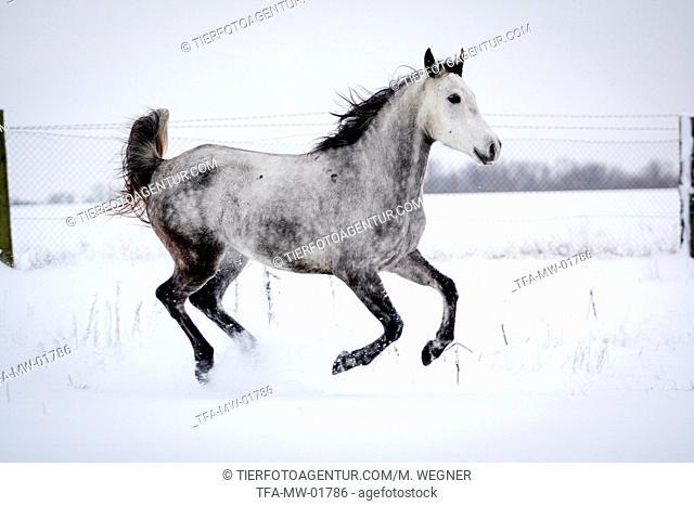 Arabian Horse in snow