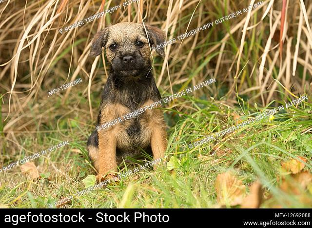 Border Terrier puppy outside in autumn